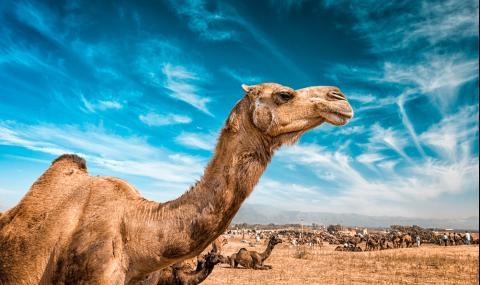 Жена захапа камила за интимните части, за да...
