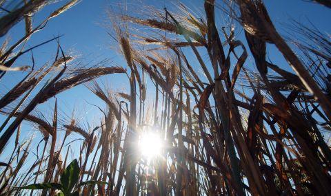 В Монтанско ожънаха 226 000 тона жито