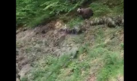 Заснеха мечка с две малки в Рила (ВИДЕО)