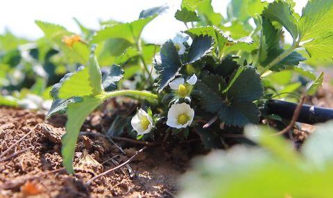 Сезонът на ягодите в Смолянско е пред провал заради лошото време