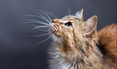 Мустаците на котките показват дали ги боли