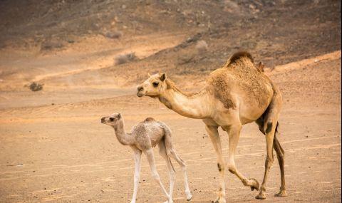 Мъж открадна камила, за да я подари на гаджето си