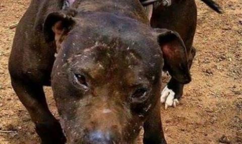 Питбул нахапа зверски 4-годишно дете в София