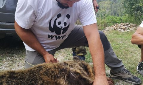 """""""Проблемна"""" мечка с две мечета беше спасена от отстрел край Смолян - 1"""