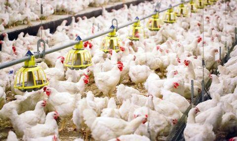 Сингапур разреши пилешко месо, отгледано в лаборатория
