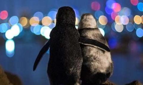 Овдовели пингвини намериха отново любовта (СНИМКИ) - 2