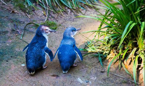 Овдовели пингвини намериха отново любовта (СНИМКИ) - 1