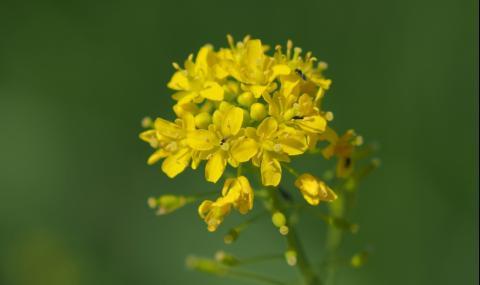 Това растение може да ви защити от коронавируса - 1