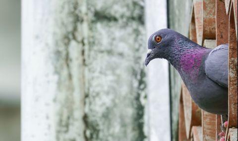 Състезателен гълъб бе продаден за рекордните €1,6 млн.
