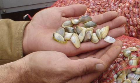 Тръгва мащабно изследване на бялата мида в Черно море