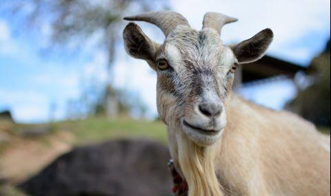 Агресивен козел вдигна британската полиция на крак (СНИМКА)