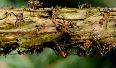 """Mравки """"химици"""" пазят колониите си"""