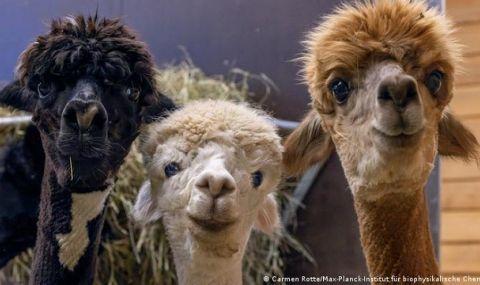 Брита, Нора и Ксения: трите алпаки, благодарение на които може да преборим коронавируса - 1