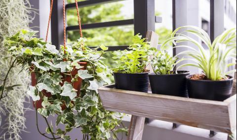 10 токсични стайни растения, опасни за…(СНИМКИ)