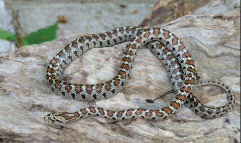 17 вида змии пълзят из страната, 4 от тях - отровни