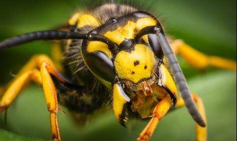 Защо осите не правят мед? (ВИДЕО)