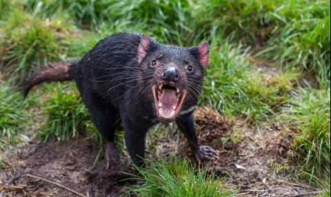 След 3000 години: Тасманийският дявол се връща в континентална Австралия (ВИДЕО)