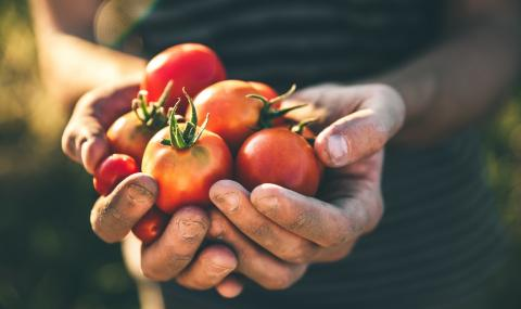 Роби берат домати в Италия