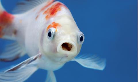 Депресирана рибка отпразнува 16-и рожден ден с торта и свещи (ВИДЕО)