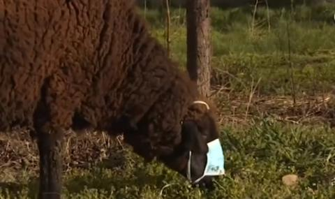 Бременна столична овца спазва стриктно мерките срещу COVID-19 (ВИДЕО)