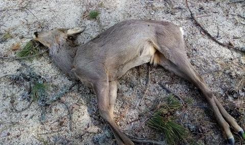Заловиха бракониери, убили сърна
