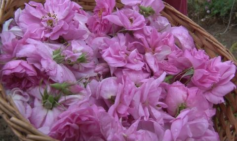 3 млн. лева за преработка на розов цвят