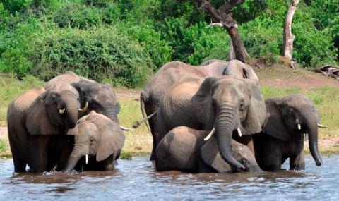 Откриха десетки убити слонове