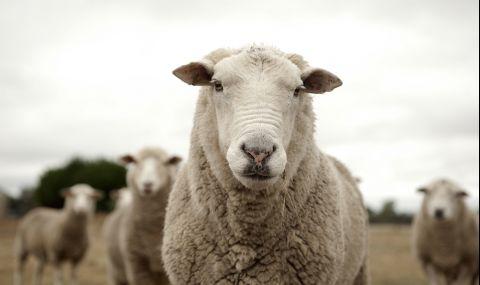 Стотици овце, обикалящи в кръг, уплашиха Великобритания (СНИМКА)