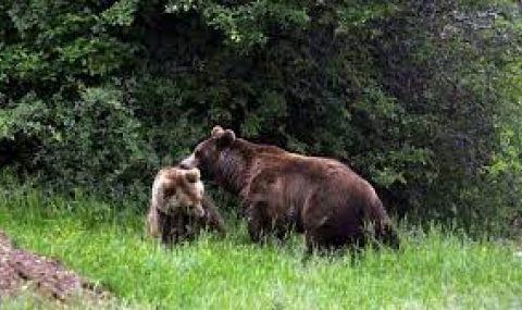 Мечка влезе в село Арда, подгони горския - 1