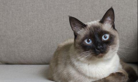 Смятана за надменна, сиамската котка всъщност е нежен и предан приятел
