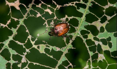 Японски бръмбар сее ужас в Германия - 1