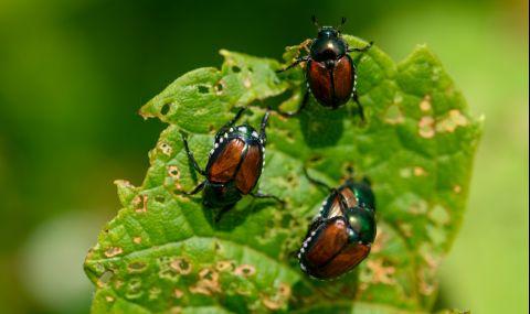 Японски бръмбар сее ужас в Германия - 2