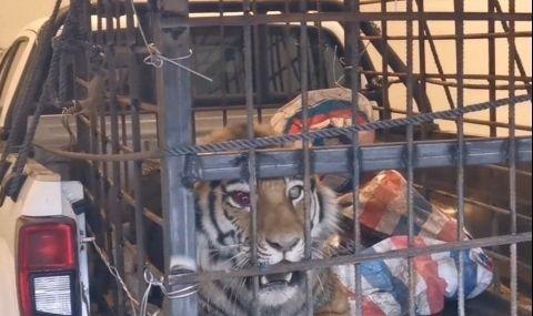 Тигър предизвика паника в Китай, напада хора и коли (ВИДЕО)
