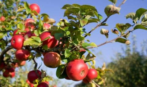 С 43% са се увеличили овощните насаждения у нас
