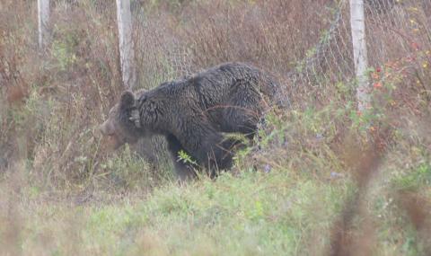 Множат се мечките във Витоша