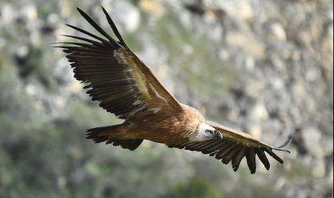 Рекорден брой белоглави лешояди в Източните Родопи