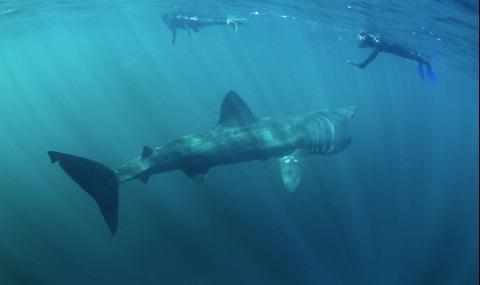 Огромна акула плува кротко край хора в Малага (ВИДЕО)