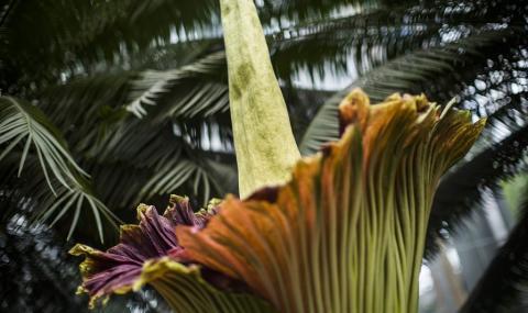Цъфти най-голямото цвете в света (ВИДЕО)