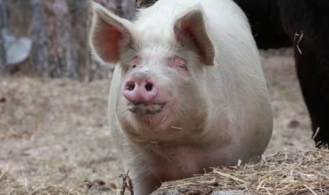Критична ситуация с чумата по прасетата в Северна България