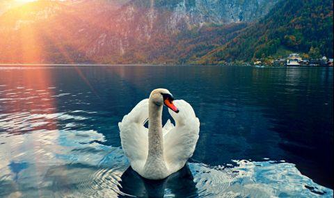Бездетен вдовец намира любовта преди 40 години в лицето на женски лебед (СНИМКИ)