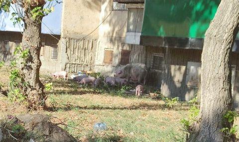 Видин заприлича на кочина, прасета ровят из града - 1