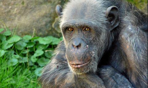 Почина най-старото шимпанзе в САЩ