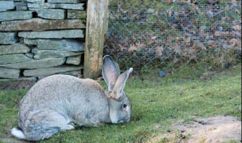 Откраднаха най-големия заек на света