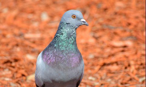 Американски гълъб прелетя 15 хил. км до Австралия