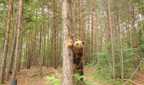 Сладоледени изненади за мечките в Белица срещу остеопороза