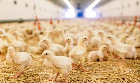 Изхвърлиха в ледена река 200 новоизлюпени пиленца, те загинаха