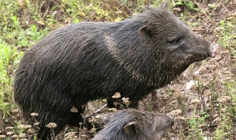 На 2 октомври се открива груповият лов на диви прасета - 1