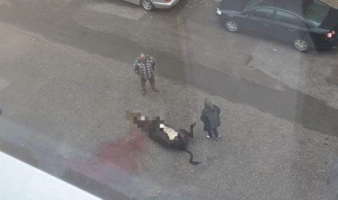 Зверство! Мъж закла крава пред блок в Гоце Делчев