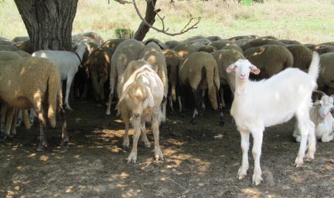 Изплатиха помощи на 14 000 животновъди