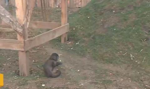 Маймуна от Софийския зоопарк пострада сериозно заради посетител